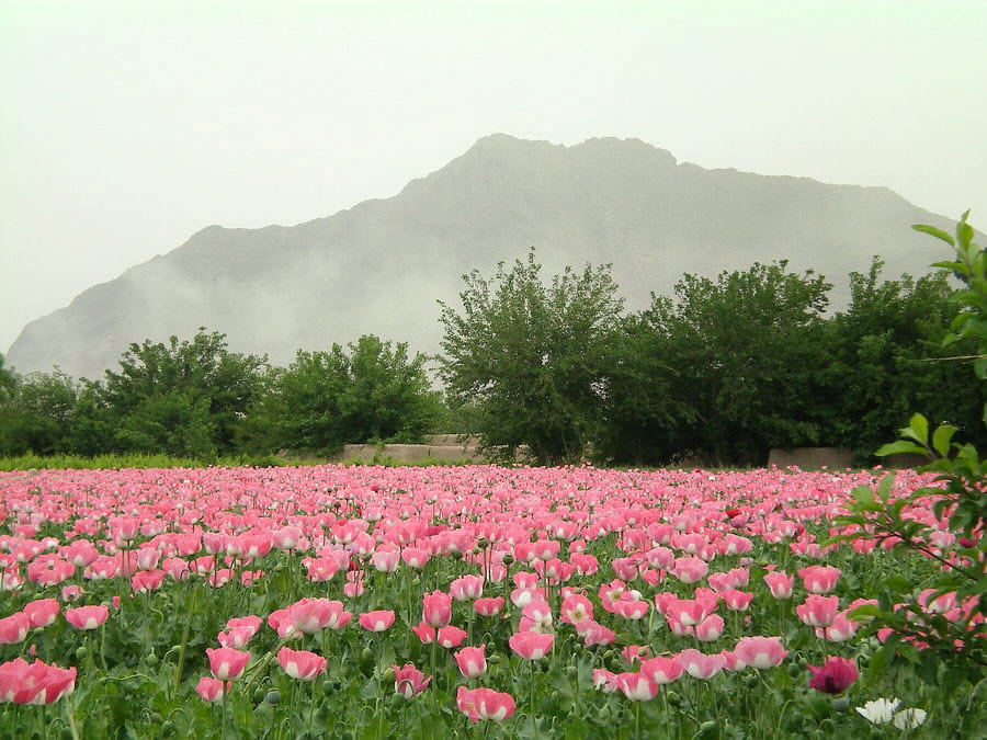Poppies-Afghanistan